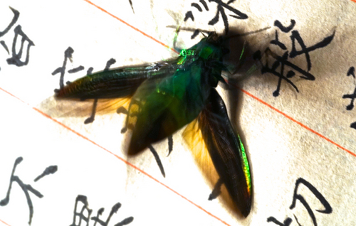 玉蟲06.jpg