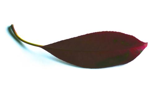 紅い葉02.jpg