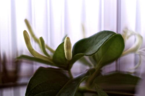 銀花.jpg